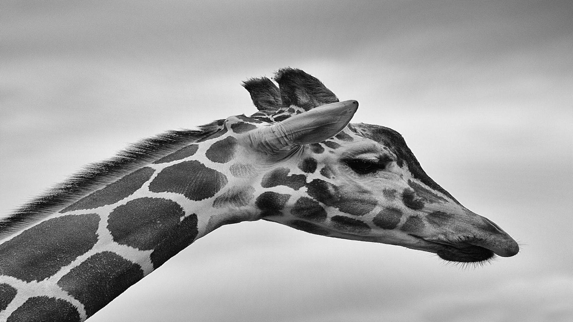 giraffe-801905_1920